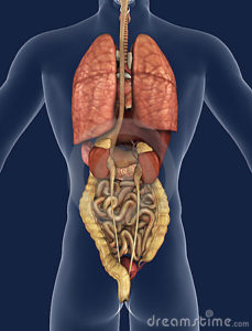 internal-organs-back-view-18824086